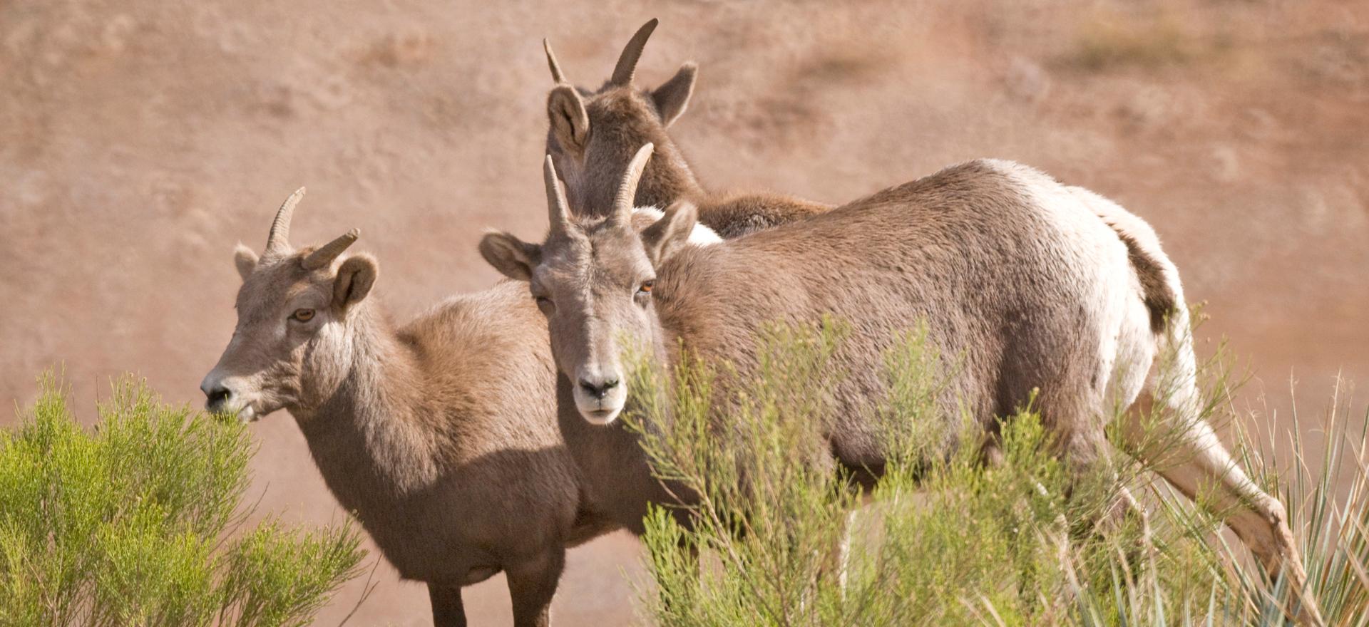 desert bighorn sheet